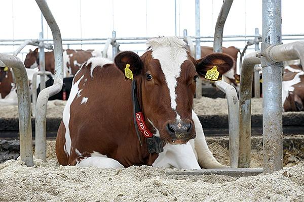 Dairy cows avoiding heat stress