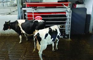 Holstein cows walk to milking robot
