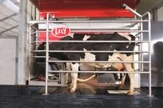 Cow awaiting robotic milking