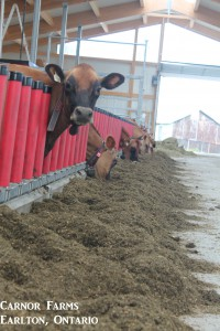 Dairy cows at Carnor Farms