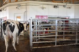 Dairy cow awaiting robotic milking