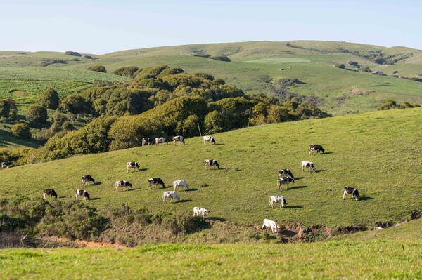 Robert Giacomini Dairy pasture