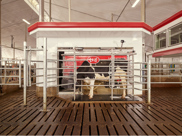 Dairy Cow being milked by Lely robotic milking machine.