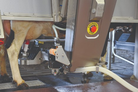 Dairy cow with robotic milking