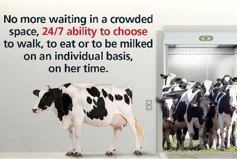 No more waiting in a crowded space, 24/7 ability to choose to walk, to eat or to be milked on an individual basis, on her time.