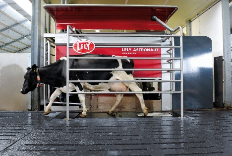 Dairy cow exiting Lely Astronaut robotic milking machine.