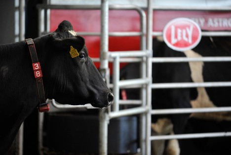 Dairy cows using Lely Astronaut robotic milking machine