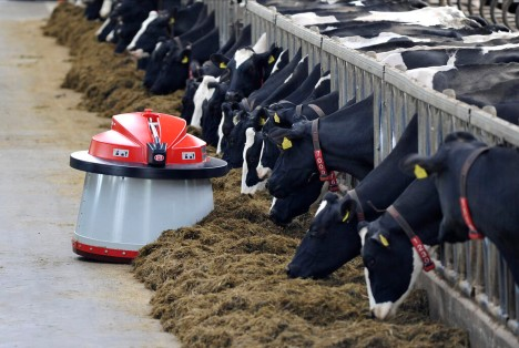 Dairy cows being fed by the Lely Juno feed pusher.