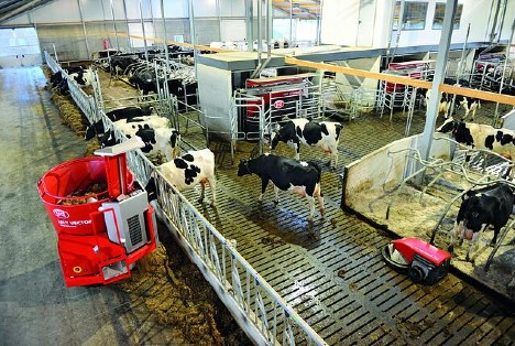 Dairy cows eating fro a Lely Vector automatic feeding system.