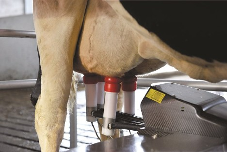 Dairy cow udder in robotic milking machine